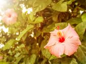 stock photo of hibiscus  - Beautiful vintage Hibiscus flower with morning light - JPG