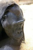 picture of gorilla  - face of the western lowland gorilla photo - JPG