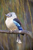 stock photo of blue winged kookaburra  - photo of the blue - JPG