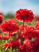 stock photo of carnations  - Red carnation poppies  - JPG