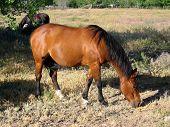 Caballo marrón pastoreo