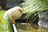 pic of trough  - Summer bright sunny day near the trough with water sits yellow chick - JPG