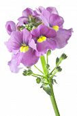 picture of single flower  - Single Nemesia flower isolated on white background - JPG