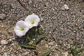 stock photo of glory  - Flowers of Morning glory on a ground - JPG