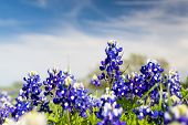 stock photo of bluebonnets  - Texas bluebonnets on a sunny spring afternoon  - JPG