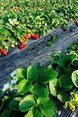 foto of strawberry plant  - green strawberry plants in growth  at field - JPG