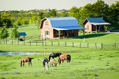 stock photo of bluebonnets  - Farm animals grazing in a lush bluebonnet-filled field in Texas ** Note: Shallow depth of field - JPG
