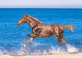 pic of foal  - the red foal is running on the seaside - JPG