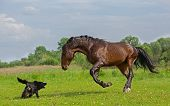 picture of brown horse  - the brown horse is playing with the dog in the green field - JPG