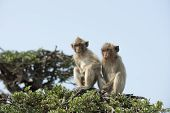 stock photo of monkeys  - Monkey on a tree - JPG