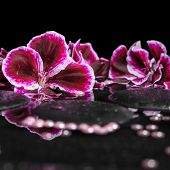 stock photo of geranium  - beautiful spa background of blooming dark purple geranium flower and beads on reflection dark water closeup - JPG