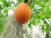 pic of cocoa beans  - one orange and lovely cocoa bean hanging in the tree - JPG