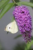 image of butterfly-bush  - Large White  - JPG