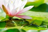 foto of water lily  - Frog under flower water lily  - JPG