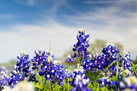 image of bluebonnets  - Texas bluebonnets on a sunny spring afternoon