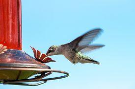 pic of hummingbirds  - Female Ruby - JPG