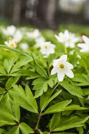 stock photo of windflowers  - Anemone nemorosa  - JPG