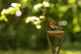 pic of spade  - Little robin red breast bird sitting on a spade in the garden - JPG