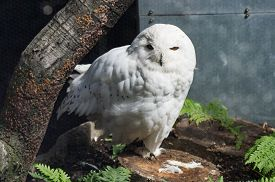 picture of snow owl  - A white snow owl in it - JPG