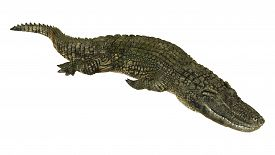 picture of crocodilian  - 3D digital render of an American alligator isolated on white background - JPG