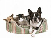 stock photo of mexican-dog  - two dogs and a kitten in a pet bed - JPG
