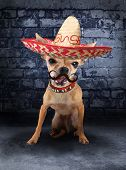 image of sombrero  - a tiny chihuahua with a sombrero hat on - JPG