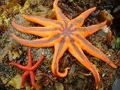 Northern Starfish
