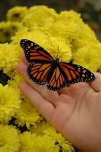 Monarch, Mums And Hand