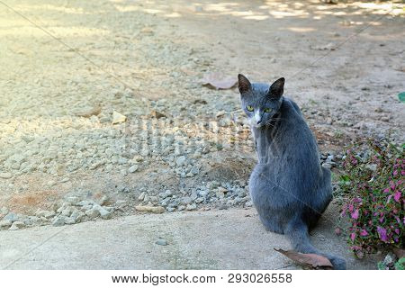 poster of The Cat Is Sitting. Gray Scottish Cat. Pet. Good Fur. Muzzle Big Cats. The Cat Is Happy Spring.