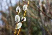 Close Up Of A Branch Of Catkin Pussy Willow In Spring On Blurred Background. poster