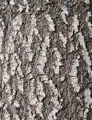 Larch Bark Texture
