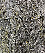 Close-up Of Several Previously Drilled Sap Holes In Tree For Maple Syrup Making At Various Degrees O poster