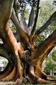 stock photo of centenarian  - Wonderful Centenarian tree with large trunk and big roots above the ground with sunlight on it - JPG
