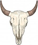 picture of cow skeleton  - cow ckull  - JPG