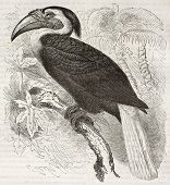 Blyth's Hornbill old illustration (Rhyticerus plicatus). Created by Kretschmer and Illner, published