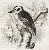 Laughing Kookaburra old illustration (Dacelo novaeguineae). Created by Kretschmer and Jahrmargt, pub