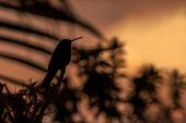 Green Violet-ear Sitting On Branch, Hummingbird From Rain Forest, Colombia, Bird Perchin At Sunset I poster