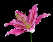 Blossoming Pink Lily Flower Isolated On Black