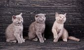 Scottish Straight And Scottish Fold Kittens. Miles Are Fluffy Kittens poster