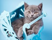 Scottish Straight Kitten. Kitty In A Decorative Cradle poster