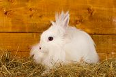 Fluffy white rabbit in a haystack on wooden background poster