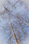 View Of Sky Through Grove Of Young Birch poster
