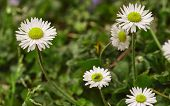Spring Inflorescence Of Daisies Flowers #3 poster