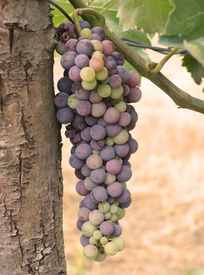 stock photo of wine grapes  - grapes on the vine - JPG