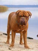 French Mastiff Standing At The Lake Coast