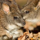 Close-up Of A Parma Wallaby