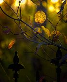Golden Leaves At Sundown