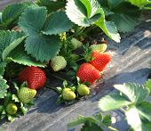 stock photo of gleaning  - Cultivation of strawberries closeup view - JPG