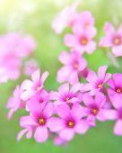 oxalis blooming
