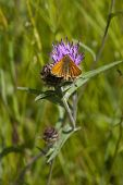 Small Skipper Butterfly